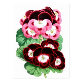 Pelargoniums Postcard