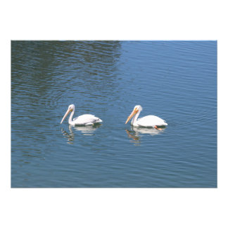pelican couple swimming photo print