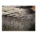 Pelican Feathers Grey Nature Photo Postcard