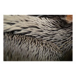 Pelican Feathers Grey Nature Photo Poster