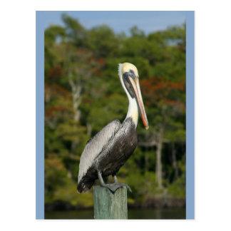 Pelican on Blue Postcard