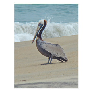 Pelican on Outer Banks OBX NC Postcard