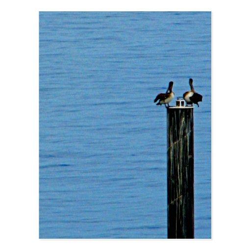 Pelican Pair Postcard