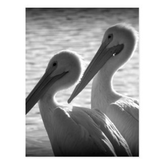Pelican Pals in Black Postcard