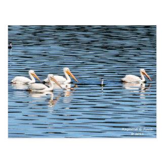 Pelican Parade Postcard
