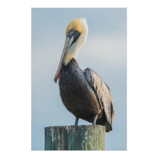 Pelican perched on pylon poster