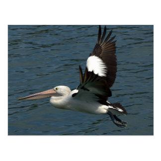 pelican rotation postcard