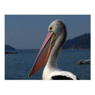 pelican study postcard