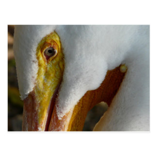 pelican upclose postcard