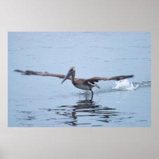 Pelican Walks on Water Poster