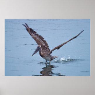 Pelican Water Landing Poster