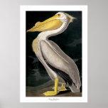 Pelícano blanco americano de John James Audubon Posters