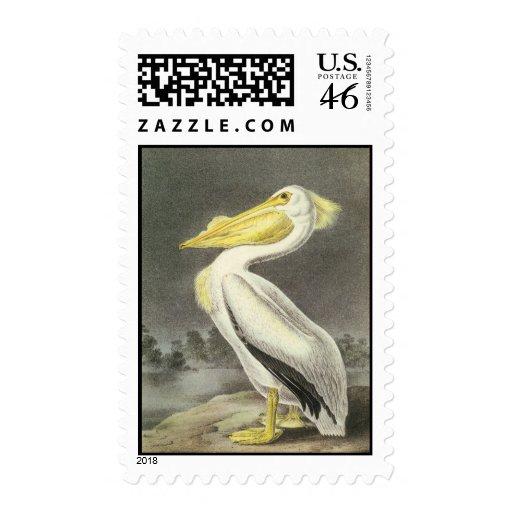 Pelícano blanco americano, Juan Audubon