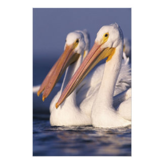 Pelícano blanco americano, Pelecanus Impresión Fotográfica