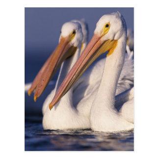 Pelícano blanco americano, Pelecanus Postales