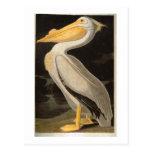 Pelícano blanco, John James Audubon Postales