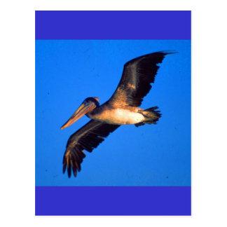 Pelícano de Brown (occidentalis del Pelecanus) Tarjeta Postal