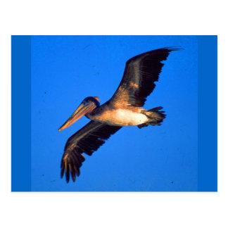 Pelícano de Brown (occidentalis del Pelecanus) Tarjetas Postales