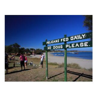 Pelícano que alimenta en Kalbarri Australia occide Tarjetas Postales