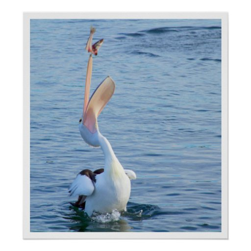 Pelícano que coge un pescado póster