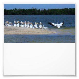 Pelícanos blancos cojinete