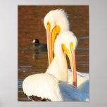 Pelícanos blancos impresiones