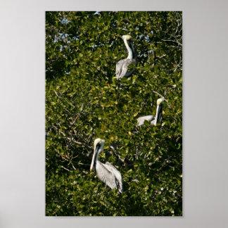 Pelícanos de Brown en árbol del mangle Póster