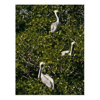 Pelícanos de Brown en árbol del mangle Postales