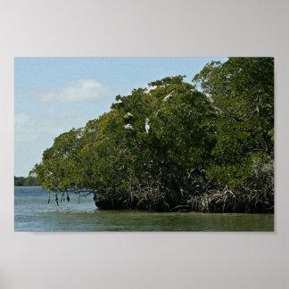 Pelícanos de Brown en árboles del mangle Póster