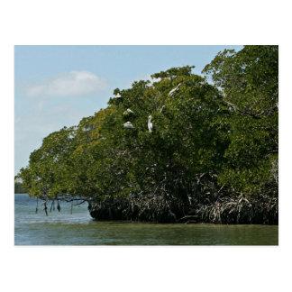 Pelícanos de Brown en árboles del mangle Postales