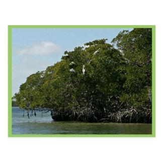 Pelícanos de Brown en árboles del mangle Tarjeta Postal