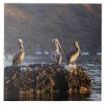Pelícanos de Brown en roca en Puerto Escondido cer Azulejo Cuadrado Grande