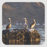 Pelícanos de Brown en roca en Puerto Escondido Pegatina Cuadrada