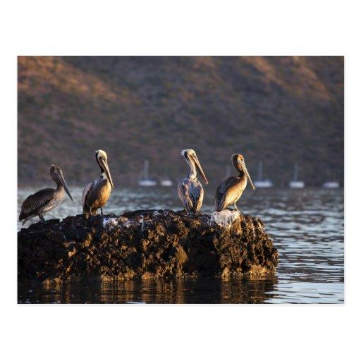 Pelícanos de Brown en roca en Puerto Escondido Postal