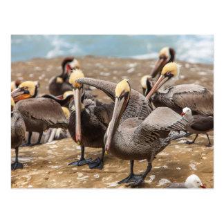 Pelícanos de Brown en tierra. Ensenada de La Tarjetas Postales