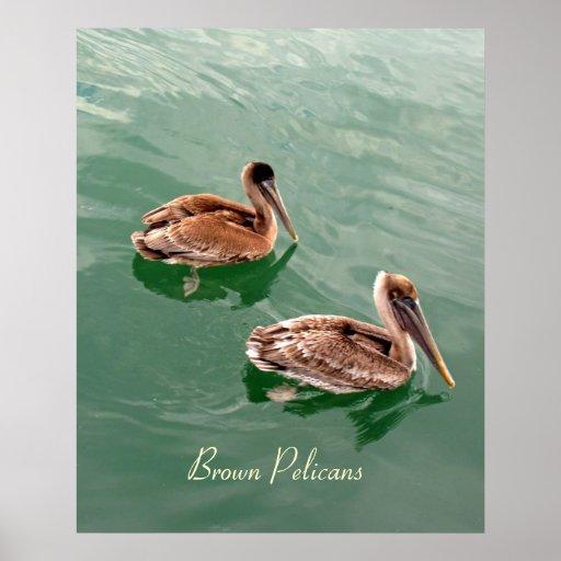 Pelícanos de Brown Póster