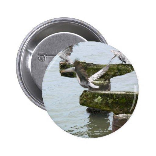 Pelícanos de Brown que buscan pescados en agua Pin