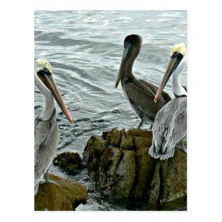 Pelícanos de Monterey Tarjeta Postal