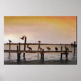 Pelícanos del NC Poster