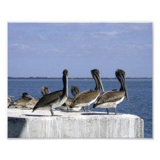 Pelícanos en una fila impresiones fotograficas