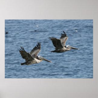 Pelícanos en vuelo póster