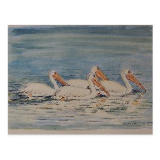 Pelícanos que nadan en las aguas tranquilas postales