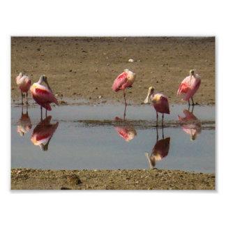 Pelícanos rosados fotografía