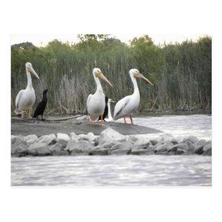 Pelícanos y cormoranes postal