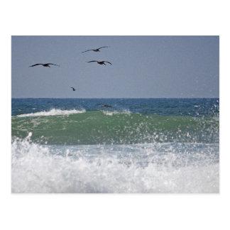 Pelicans at Horsfall Beach Postcard