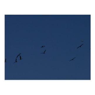 Pelicans in Flight Postcard