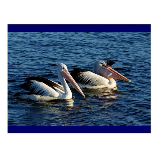 Pelicans with Fish Postcard