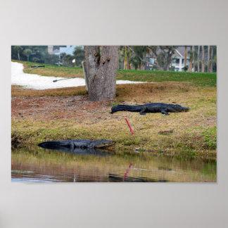 Peligro del cocodrilo en campo de golf póster