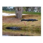 Peligro del cocodrilo en el campo de golf tarjeta postal