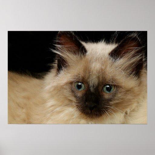 Pelo largo 2 del gatito póster